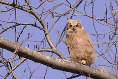 GH Owlet photo by flores.david84