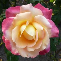 Boston, MA, Fenway Park Rose Garden, Rose photo by Mary Warren (5.1+ Million Views)