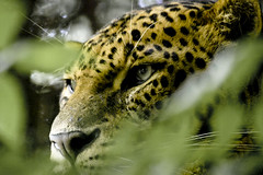 Leopard photo by wwmike