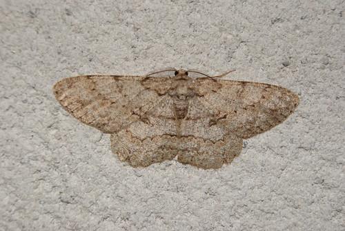 papillon La Boarmie pointillée, Hypomecis punctinalis