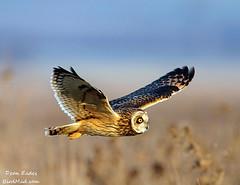 Short eared owl photo by Dean Eades - BirdMad
