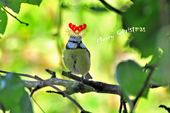 "KUSO, Blue Tit says ""Merry Christmas"" to all my friends!! (Today's explore #139) photo by Capelle Panda -- try to catch up"
