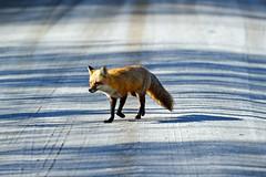 Red Fox photo by Brian E Kushner