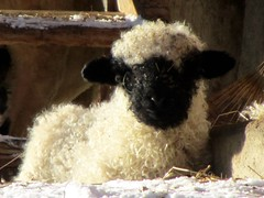 Valais Blacknose Lamb photo by M_Strasser