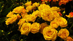 Yellow Roses photo by LostMyHeadache: Absolutely Free *