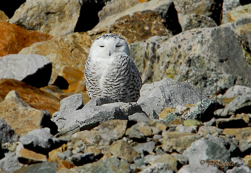 Snowy Owl -  Merrill Creek Reservoir photo by pkefali (Off to Colorado - Back in 10days)