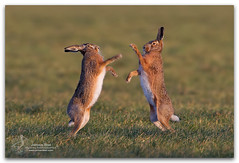 European Hares-Lepus europaeus photo by www.jeroenstel.com