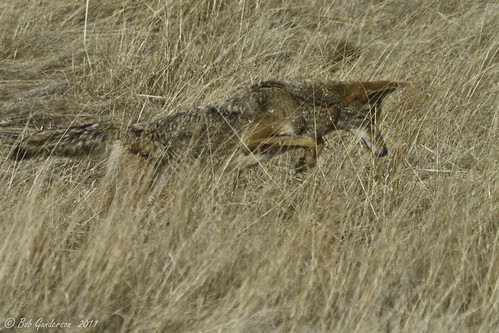 Coyote Hunting - Multiple Views photo by Bob Gunderson