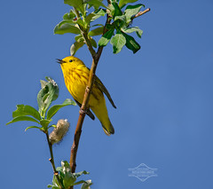 Spring: A Yellow Warbler in Song photo by kdee64