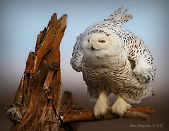 Snowy Owl photo by Missi Gregorius