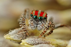 maratus volans photo by FISHNROBO