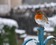Christmas Robin photo by wilkie,j ( says NO to badger cull :(