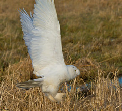 Snowy Owl After Prey! photo by JRIDLEY1