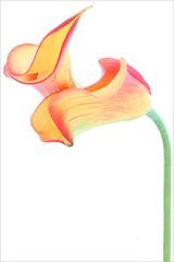Calla Lily / Calla Lilies - IMG_1199-1000 photo by Bahman Farzad