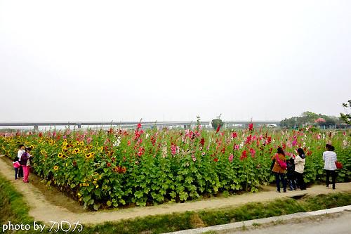 35_台南學甲蜀葵花海