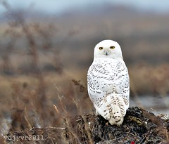 sweet and adorable - Snowy Owl photo by vic.yvr