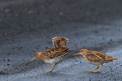 Common Snipe - Gallinago gallinago - Hrossagaukur