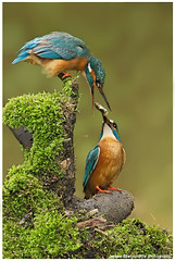 Kingfishers photo by www.jeroenstel.com