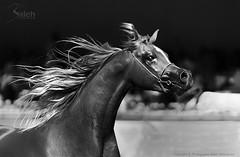 Al Khalediah Arabian Horse Festival 2012 | Explore photo by saleh alghasham || iBnghasham.com