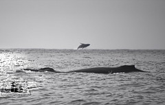 The breaching whale / Il salto della balena photo by Fil.ippo