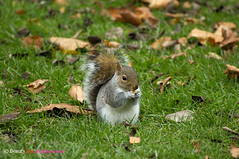 London - Hyde park's squirrel. . . photo by Beauty Eye