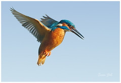 Kingfisher photo by www.jeroenstel.com