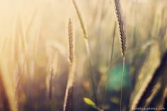 floating cornfields photo by Maegondo