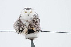 Snowy Owl photo by brettnickeson