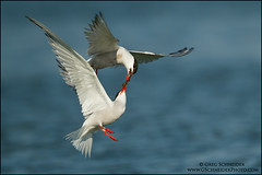 Common Tern courtship flight photo by Greg Schneider (gschneiderphoto.com)