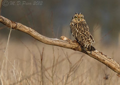 Short-eared Owl (Asio flammeus) set 2 (Explored) photo by M.D.Parr