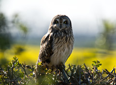 Short-Eared Owl photo by Darren Olley (offline)