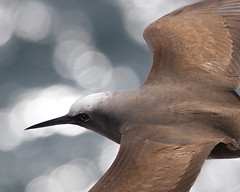 Brown Noddy Close-up Flight Anous stolidus photo by GaryKurtz