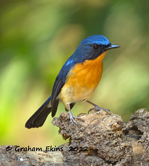 Hill Blue Flycatcher,       Cyornis banyumas,, male photo by Graham Ekins