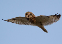 Short-eared Owl (Asio flammeus) set 3 (Explored) photo by M.D.Parr