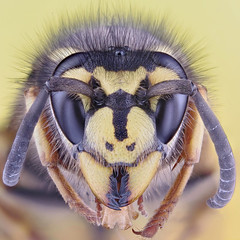 Wasp (German Wasp, Vespula germanica) photo by Johan J.Ingles-Le Nobel