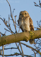 Short-eared Owl (Asio flammeus) set 1 (Explored) photo by M.D.Parr