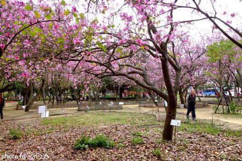 11_台南公園羊蹄甲