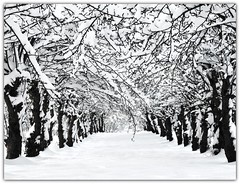 Avenue of the snowy Apple Trees photo by Habub3