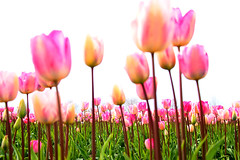 Tulips (Explored) photo by どこでもいっしょ