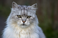 Handsome cat photo by hehaden