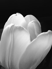 Tulip photo by Beth Reynolds
