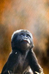 gorilla photo by wwmike