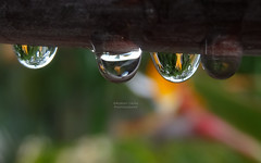 Drops of Paradise photo by RobertCross1 (off and on)
