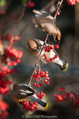 Waxwings at Breakfast photo by Nick Chill Photography