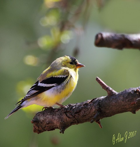 Goldfinch photo by alanj2007