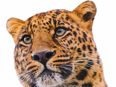 Leopard on white photo by Tambako the Jaguar