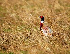 Ring-necked Pheasant in The Wild photo by TOTORORO.RORO