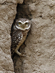 Owl In Den photo by AbdulRehman