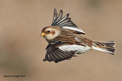 Snow bunting in flight photo by Stuart G Wright Photography