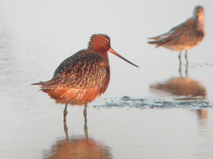Bar-tailed Godwit, Castro Marim (Portugal), 28-Apr-06
